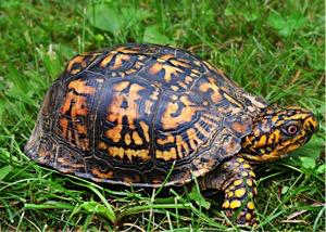 box-turtle-wildlife-animal-reptile-159758_1.jpeg